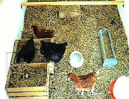 Heilbronn – Hühner webcam Live