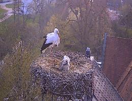 Nittenau – Storchennest Webcam Live