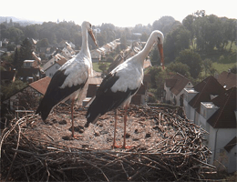 Bad Waldsee – Störche webcam Live