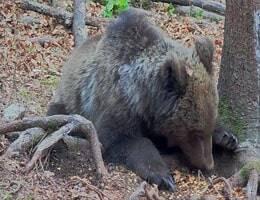 Notranjska Braunbären Webcam Live