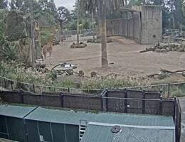 Werribee Zoo Giraffe Webcam Live