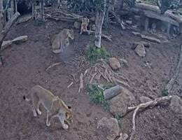 Werribee Zoo Lion Webcam Live