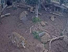 Werribee Zoo Lion Webcam Live