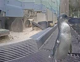 Werribee Zoo Penguin Webcam Live