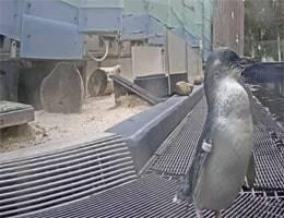 Werribee Zoo Penguin Webcam Live