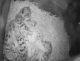 Werribee Zoo Snow Leopard Webcam Live