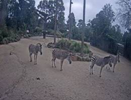 Werribee Zoo Zebra Webcam Live