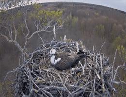 Barlinecka Forest Ospreys Webcam Live