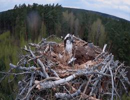 Napiwodzko-Ramucka Forest Ospreys Webcam Live
