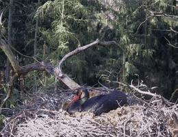 Notecka Forest Black stork Webcam Live
